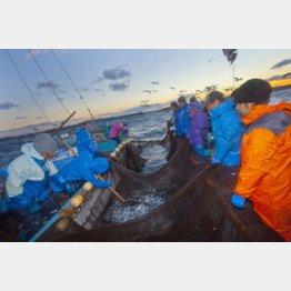網で魚をすくいとる/(C)日刊ゲンダイ
