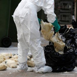 中国や東南アジアなどは鳥インフル対策が徹底されず…